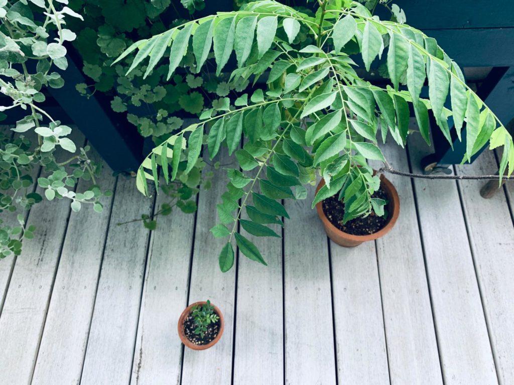 ベランダの上に鉢に入ったカレーリーフの木と植樹したばかりの小さなカレーリーフの鉢がある