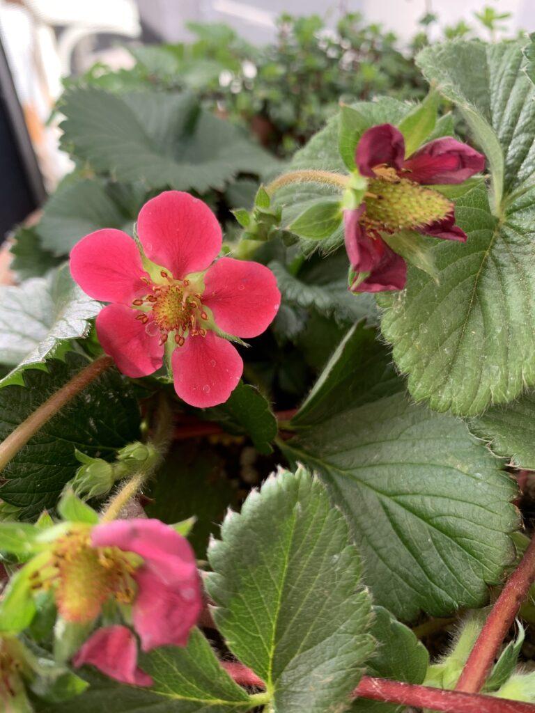 イチゴの花が咲いている