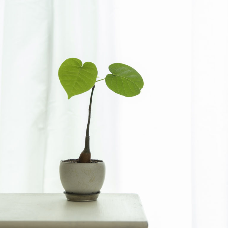小さな鉢の小さな観葉植物。カーテン越しに置かれています。