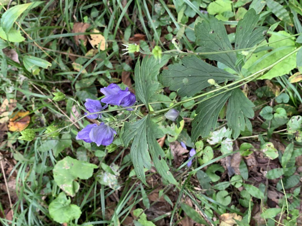 トリカブトの花
