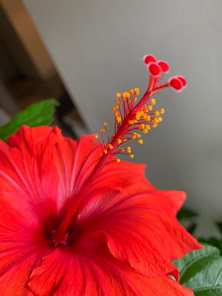 ハイビスカスの花のアップの写真