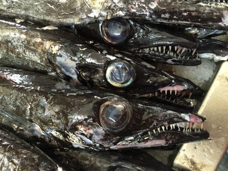 怖い顔の魚が沢山並んでいる