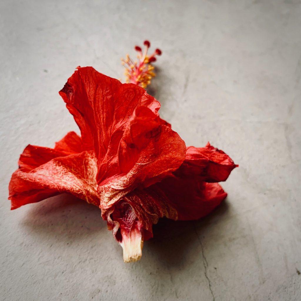 落ちて傘をたたむようになったハイビスカスの花