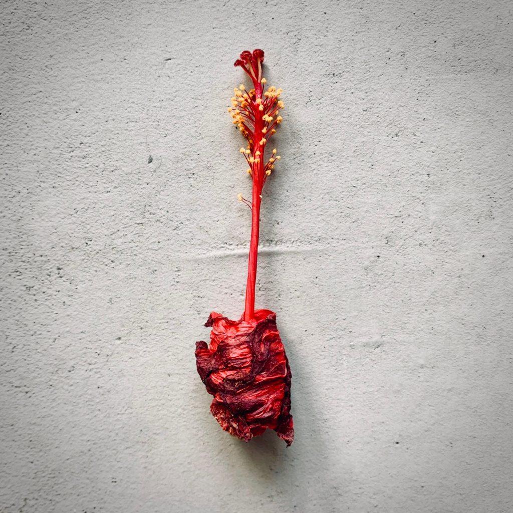 折りたたみ傘のようになったハイビスカスの花