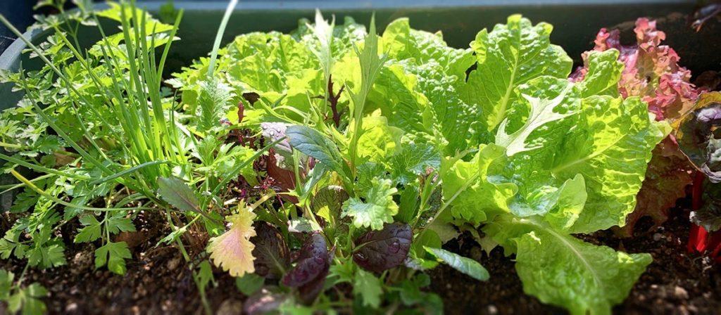 ベランダのプランターで育つサラダ菜やハーブたち