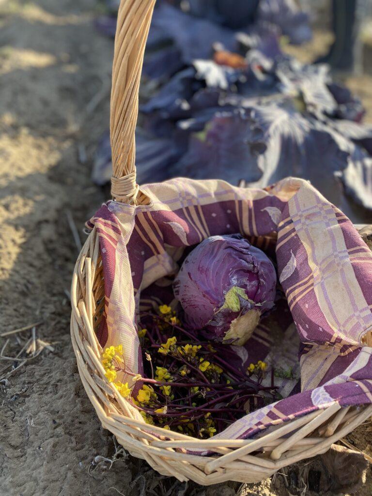 畑で収穫した紫キャペツと菜花がカゴに入っている。