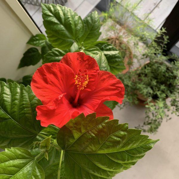 ハイビスカスの真っ赤な花